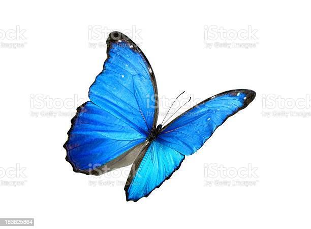 Blue morpho butterfly with black edges picture id183825864?b=1&k=6&m=183825864&s=612x612&h=z06r3bjnq9rhhhre71vhe8adxelvdgsn3nbcdnmr6jy=