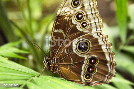 Blue morpho butterfly with closed wings. No people