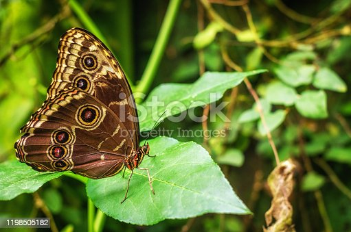 Blue morpho butterfly with closed wings posing on a plant (Morpho peleides)