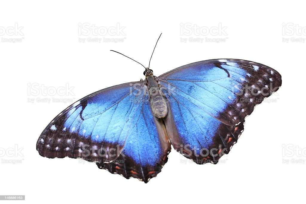 Blue Morpho cutout stock photo