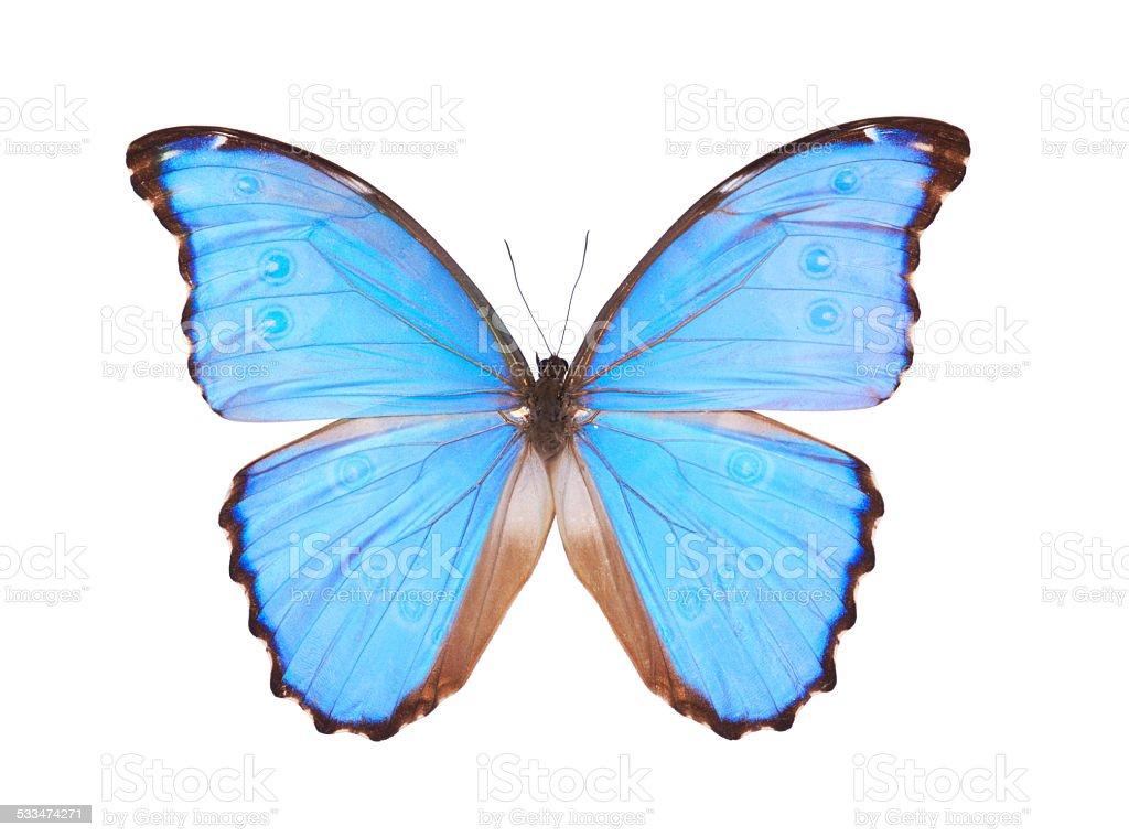 Blue Morpho Godarti butterfly isolated on white stock photo