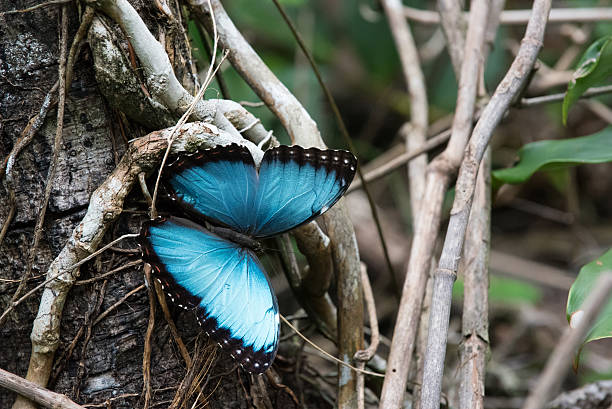 Blue morpho king of butterflies in the caribbean picture id576924550?b=1&k=6&m=576924550&s=612x612&w=0&h=vpmss0uwhfj7uspeancoffnhhfy3iyhkklwtkx1belu=