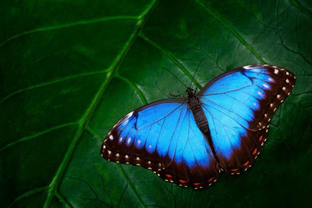 Blue morpho morpho peleides big butterfly sitting on green leaves picture id1253517790?b=1&k=6&m=1253517790&s=612x612&w=0&h=hdxjldghjwdcdmp7bwoedejogsffri3tl4 3mdkxz9w=