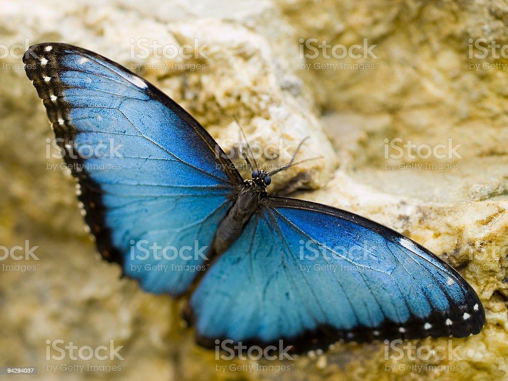 Blue Morpho on a rock royalty-free stock photo