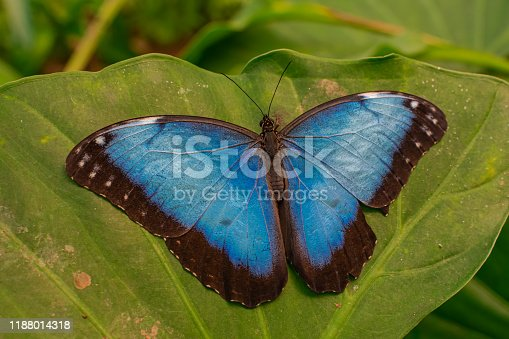 Blue Morpho Peleides butterfly, resting with open wings on a green leaf, with green jungle vegetation background