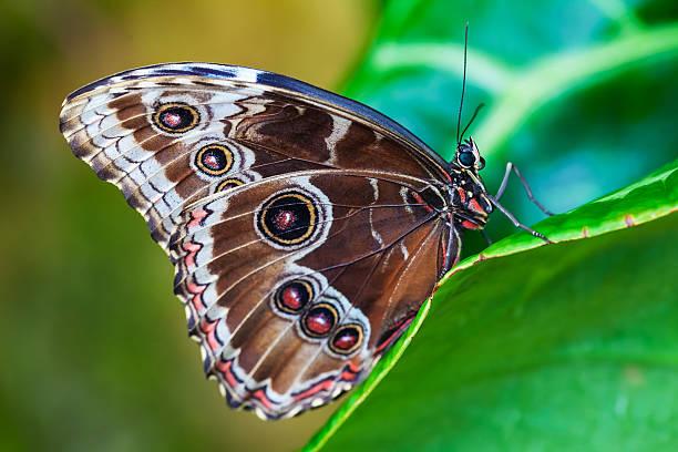 Blue morphus butterfly picture id487314670?b=1&k=6&m=487314670&s=612x612&w=0&h=s5cokmf6ksku5jcn945lfhfkkd dseijstyc56sscdq=