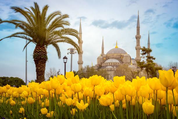 Blaue Moschee (Sultan ahmet Camii), Istanbul, Türkei. Palmenbaum und gelbe Tulpen auf der ersten Etappe an einem schönen Frühlingstag. – Foto