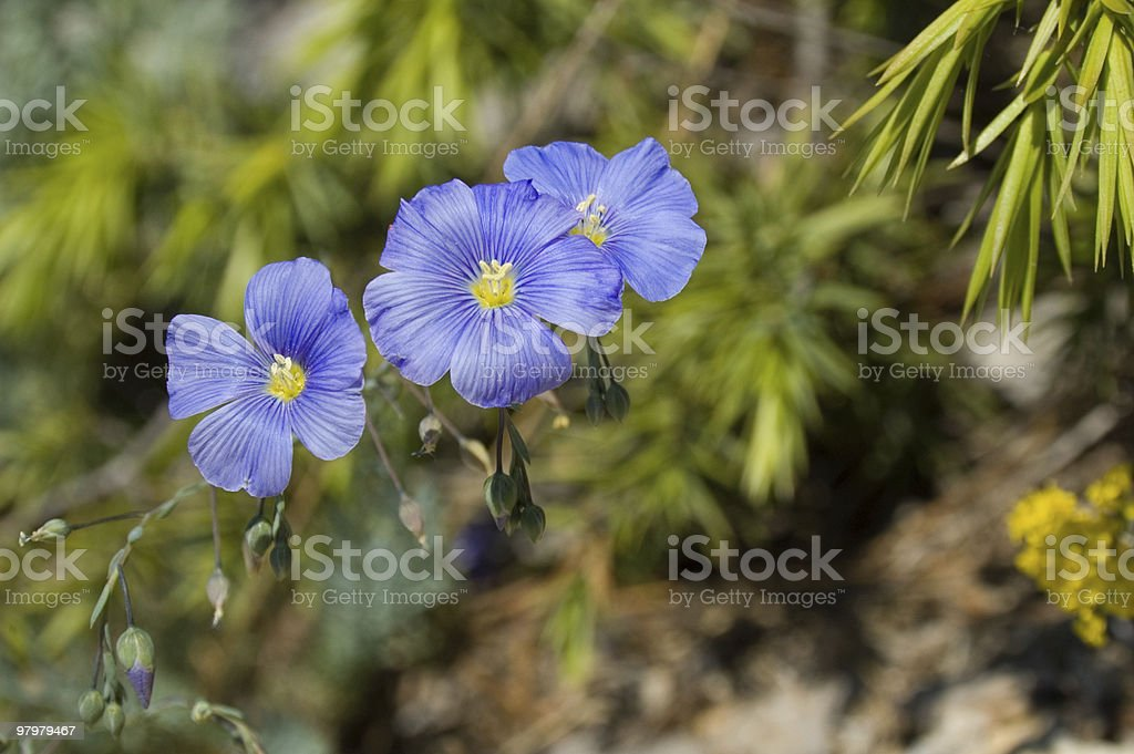 blue mountain flowers royalty-free stock photo