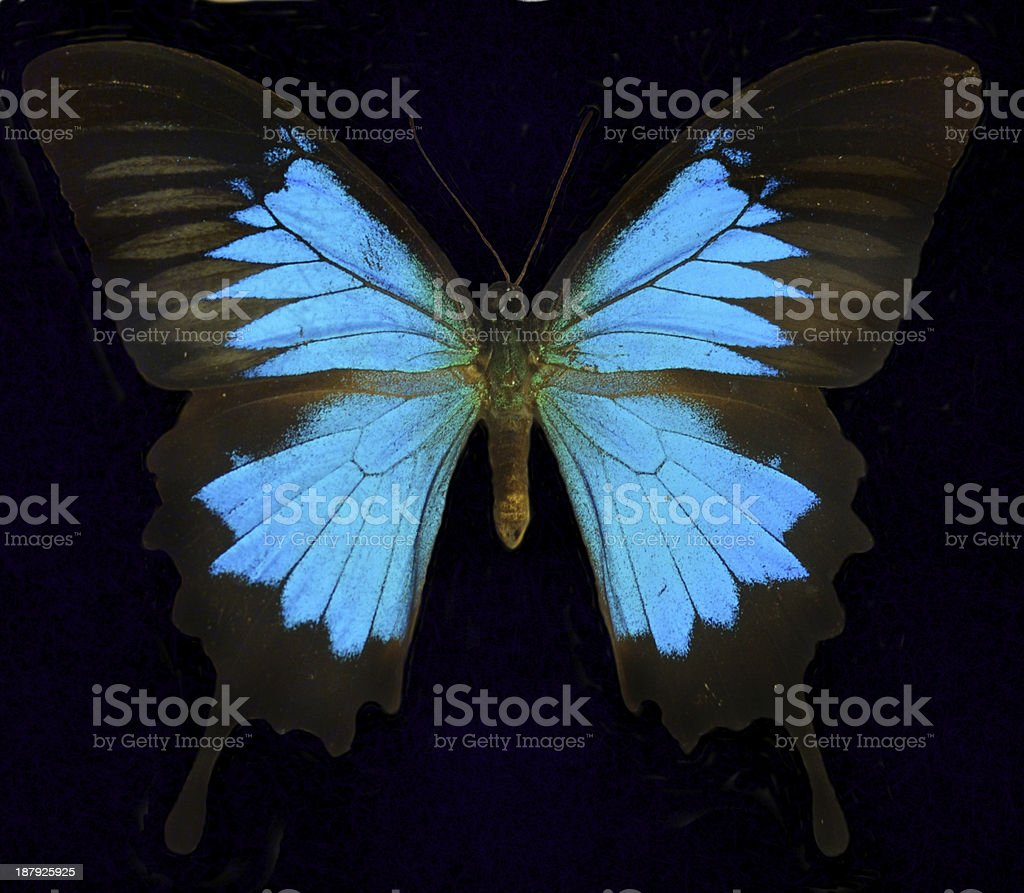 Blue Mountain Swallowtail/Ulysses Butterfly stock photo