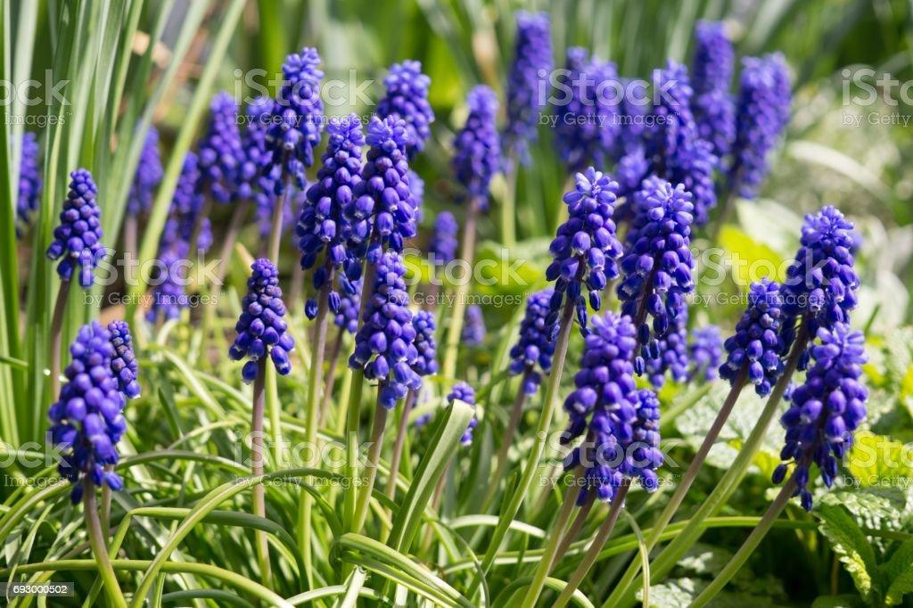Blue Muscari flower stock photo