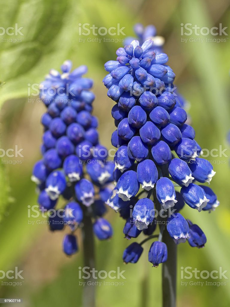 Blue muscari royalty-free stock photo