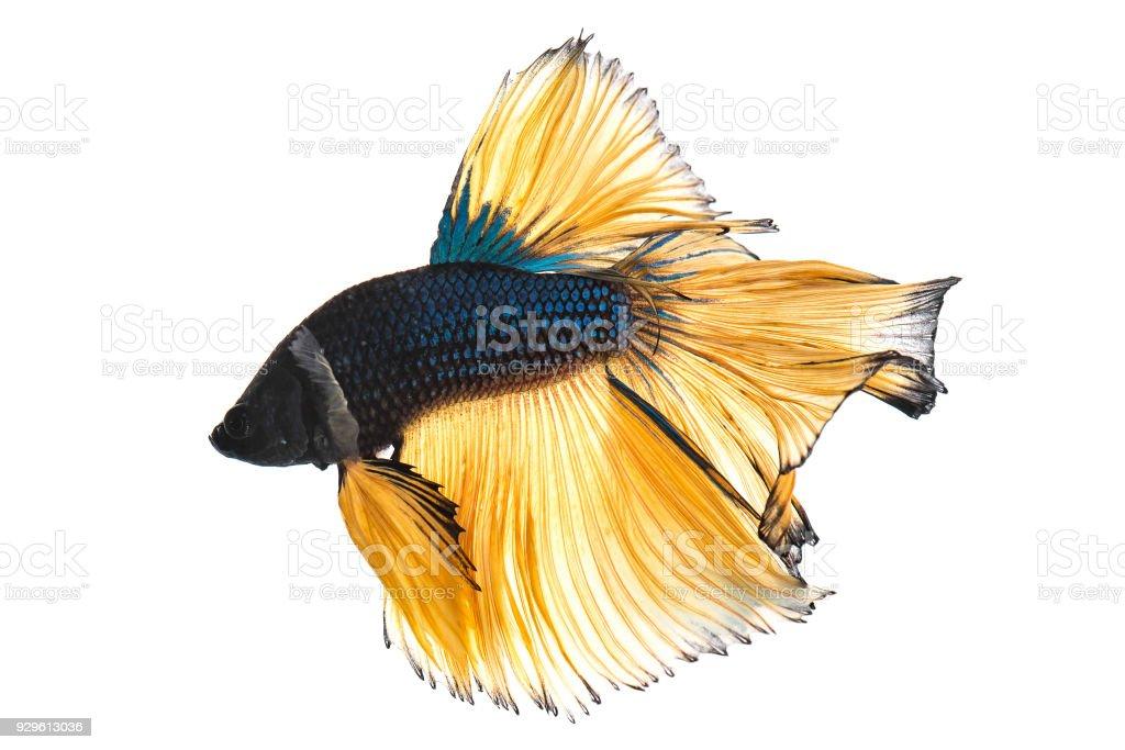 Blue mustard betta fish isolated on white background stock photo