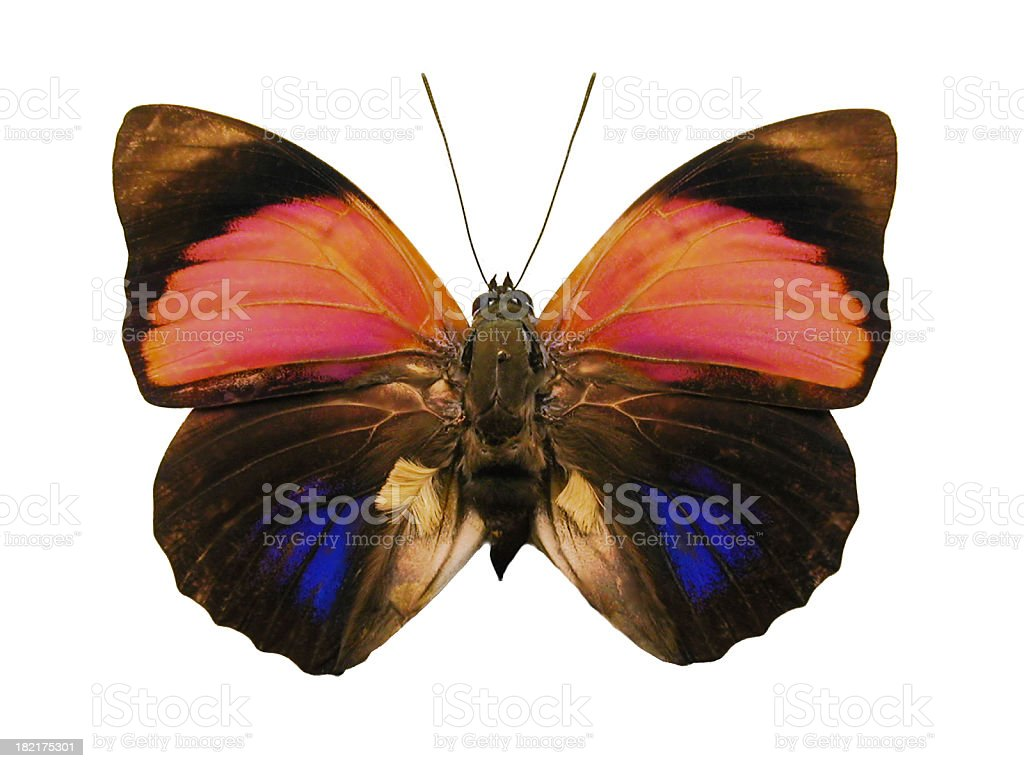Blue 'N Red Butterfly royalty-free stock photo