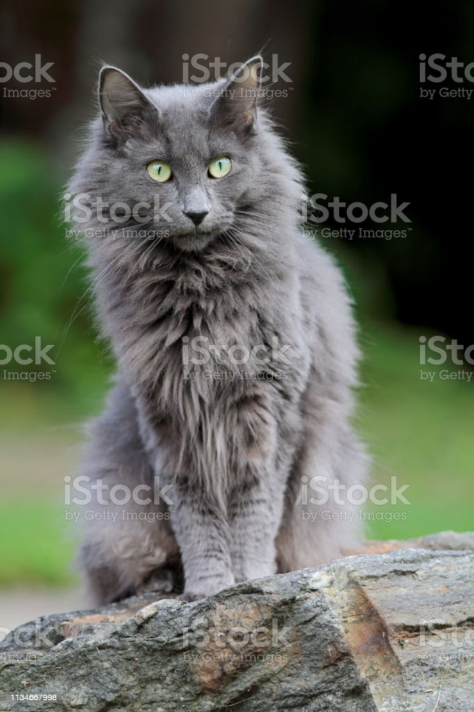 Blue Norwegian Forest Cat Kitten Stock Photo Download Image Now Istock