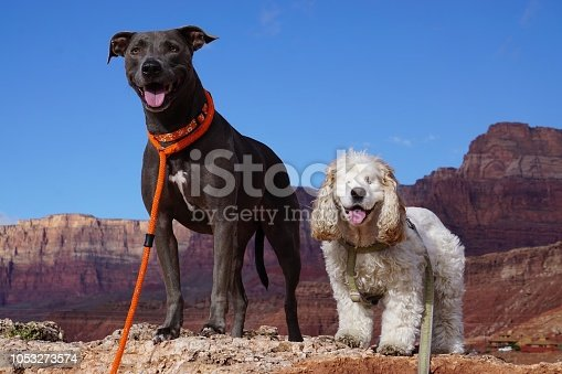 Blue Nose Lacy dog and a blind Cocker Spaniel standing on a mountain with the National Grand Canyon in the background with a vivid blue sky.