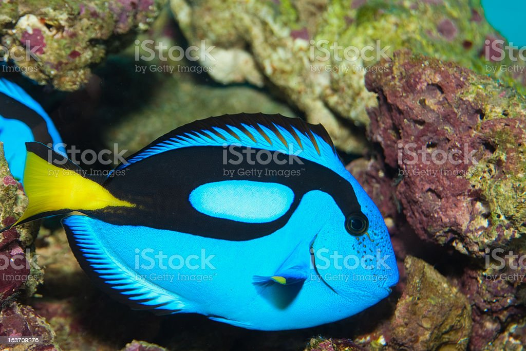 Blue or Hippo Tang stock photo