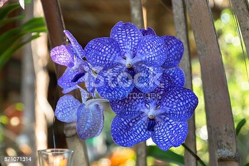 Blue orchid flower in the garden.
