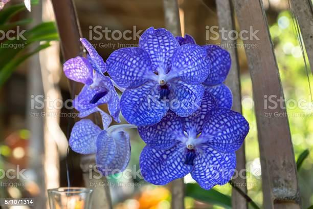 Blue orchid flower in the garden picture id871071314?b=1&k=6&m=871071314&s=612x612&h=ziak0x02uahplp8 fnve4nvo6x7zu5ykdwidel 5ila=
