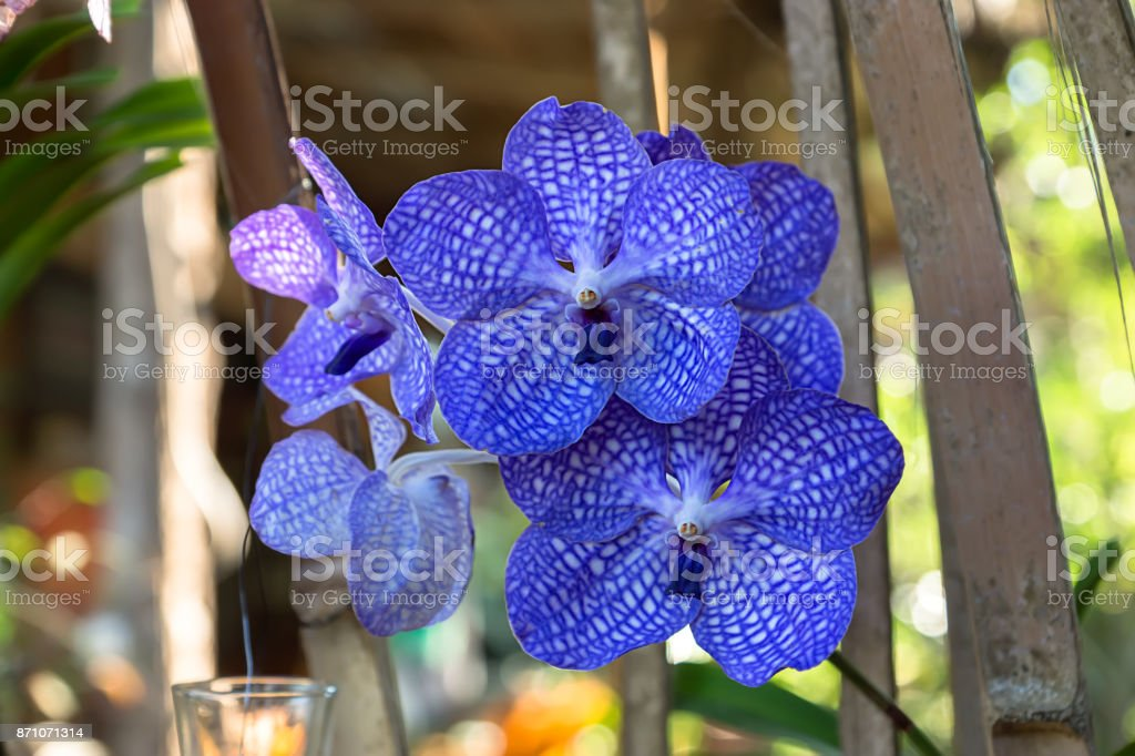 Blue orchid flower in the garden. stock photo