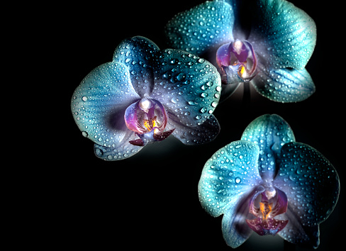 Beautiful blue Orchid flowers with drops on a black background. Space for copy.
