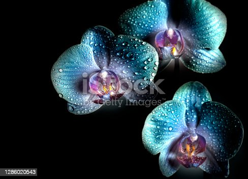 istock Blue Orchid flowers with drops close-up on a black background 1286020543