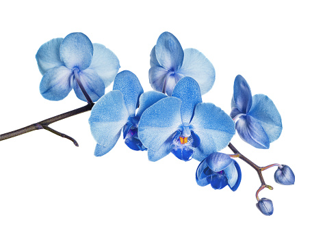 Blossoming branch of blue orchid flower isolated on a white background