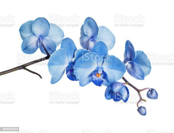 Blue orchid on white background picture id955633544?b=1&k=6&m=955633544&s=612x612&h=qybwtartjdsaqpkkb563lkuahtnzftabukmwgwbxqzk=