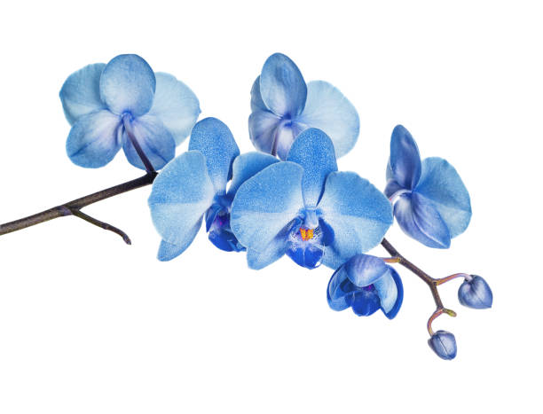 Blue orchid on white background picture id955633544?b=1&k=6&m=955633544&s=612x612&w=0&h=gdnizs1jfrziqh8jqcfjc64jc0ozlb5uyc7erwjqxeg=