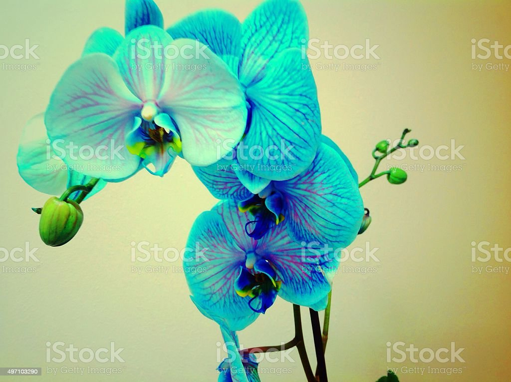 Blue Orchid Vintage photograph Close Up Unusual Angle stock photo