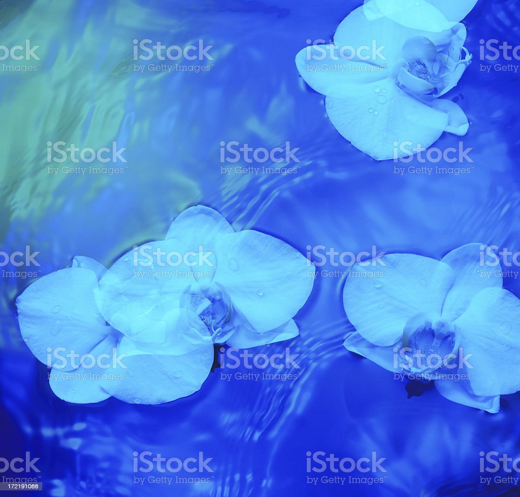 blue orchids royalty-free stock photo