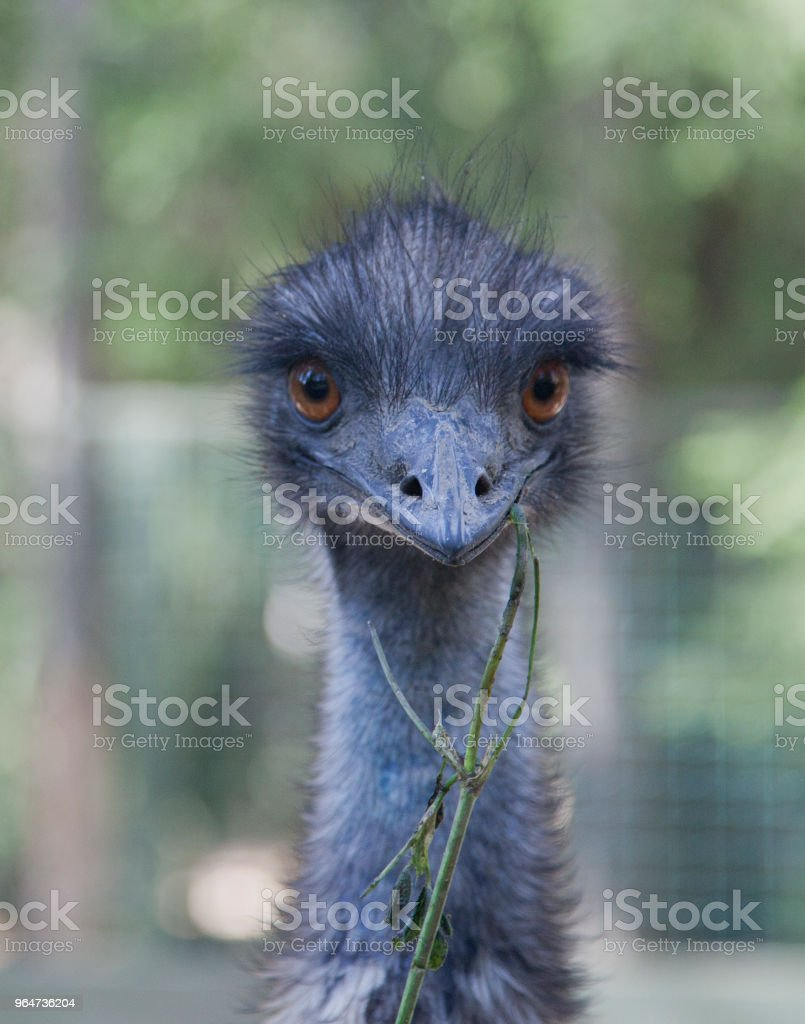 blue Ostrich head royalty-free stock photo