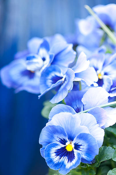 Blue pansy flowers Blue pansies blue background.More flowers: pansy stock pictures, royalty-free photos & images