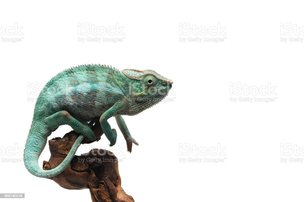 Blue Panther chameleon isolated on white background stock photo