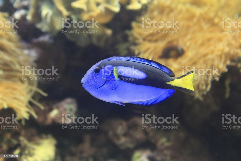 blue Paracanthurus hepatus stock photo