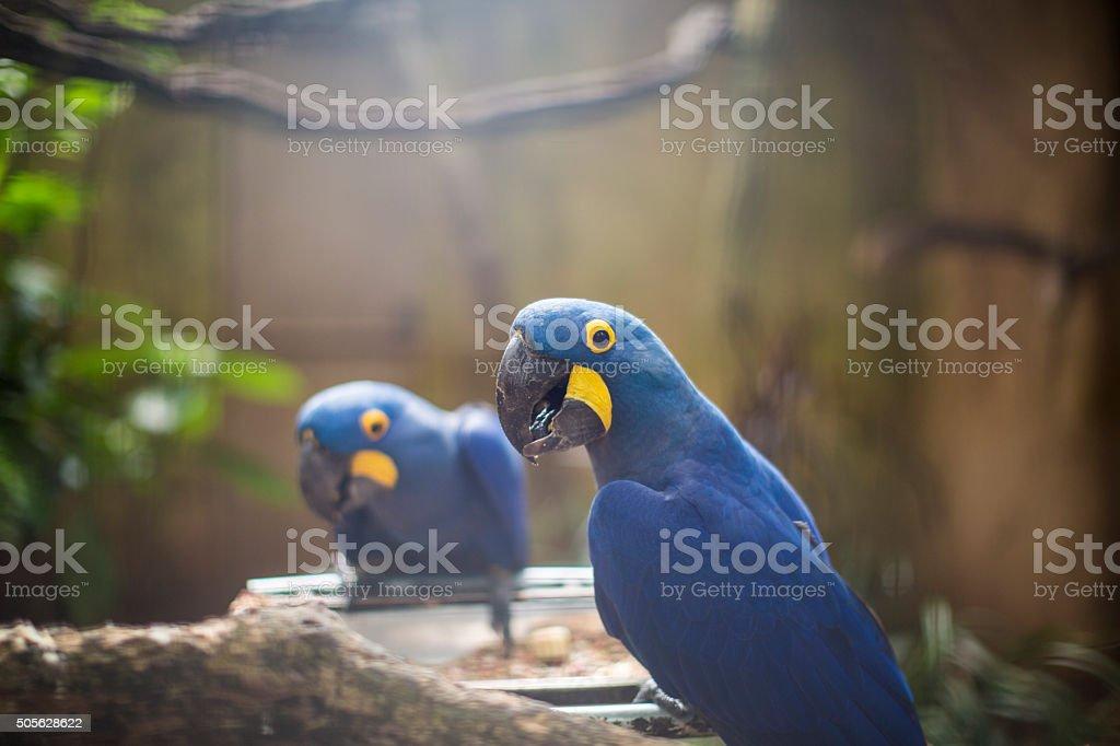 Blue Parrot-Brasil - foto de acervo