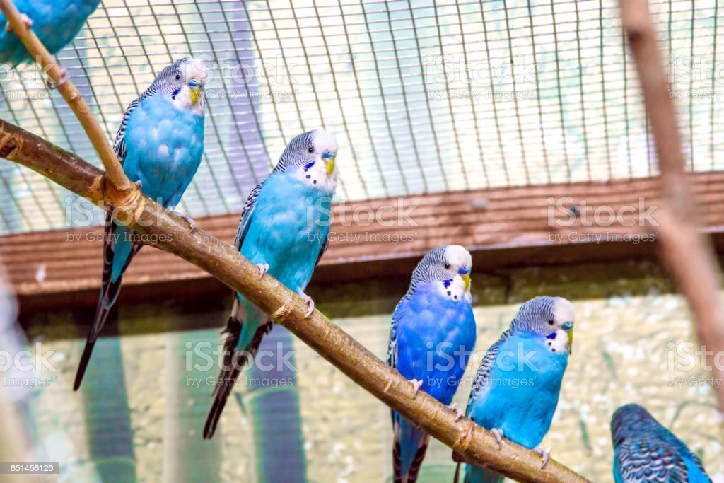 blue parrots sitting on a branch in an aviary stock photo