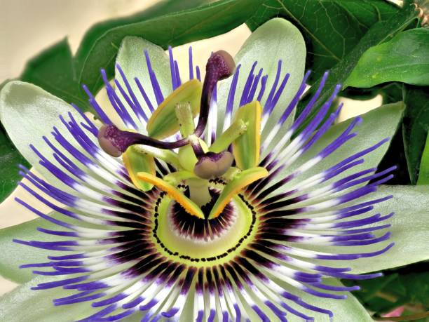 Blue Passiflora, Passiflora caerulea, home is Northern Argentina and Southern Brazil stock photo