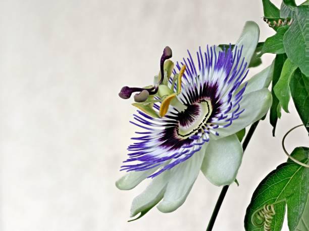 Blaue Passiflora, Passiflora caerulea, Heimat ist Nordargentinien und Südbrasilien – Foto