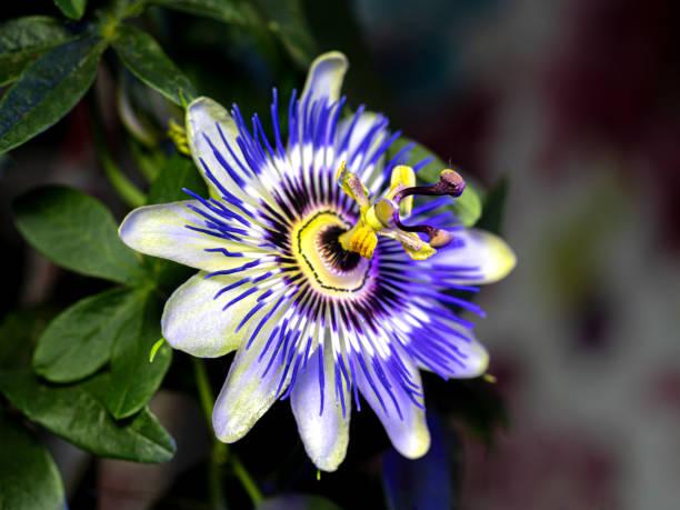 Blaue Passionsblume - Passiflora caerulea – Foto