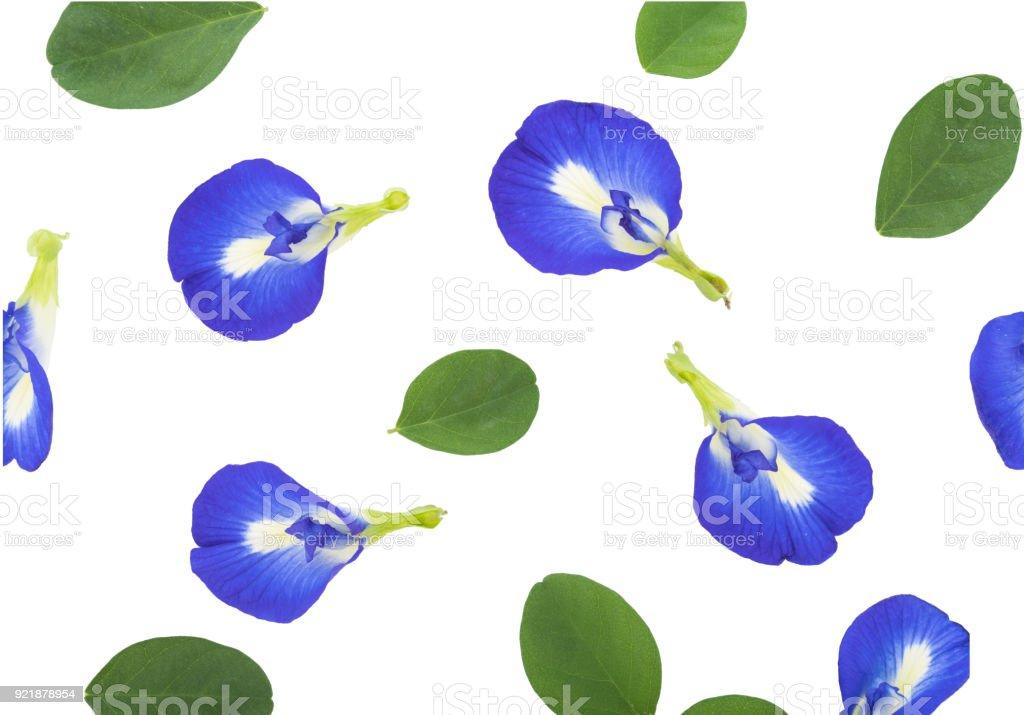 blue pea flowers on white background stock photo