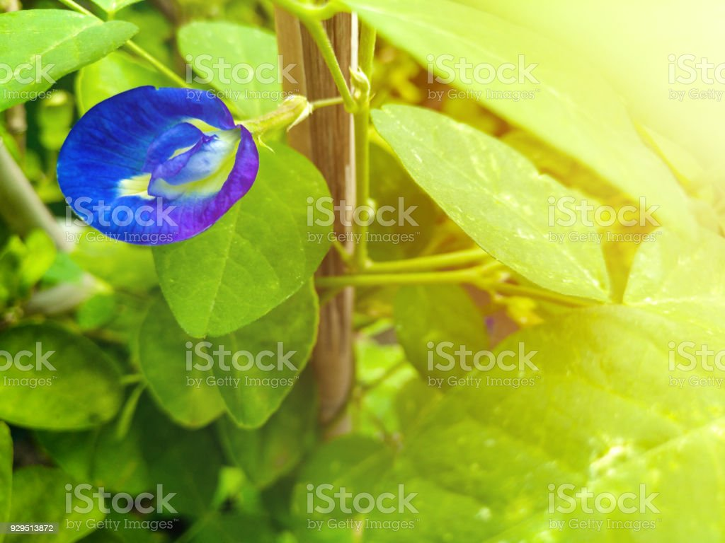 blue pea is a perennial herbaceous plant, another name is cordofan pea stock photo