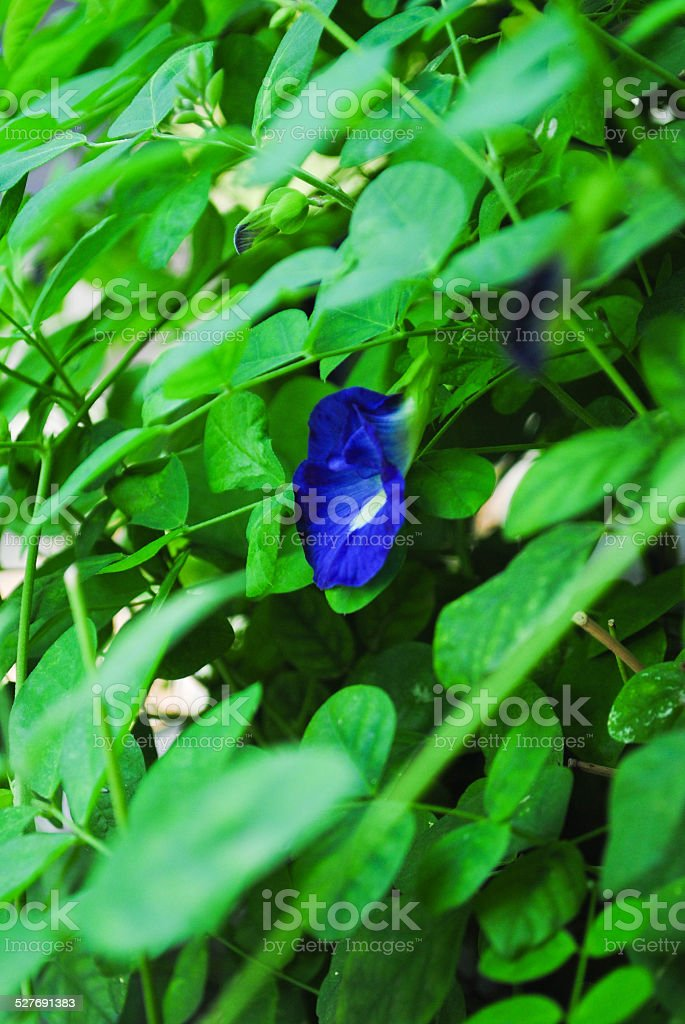 Blue pea stock photo