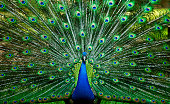 Peacock feathers, flat style. Straight and curved. Blue colored feathers of exotic birds.