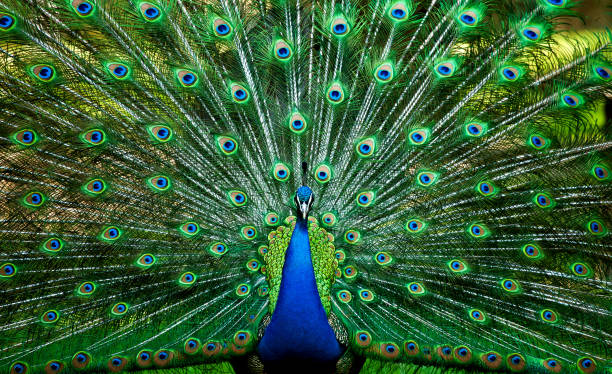 Blue Peacock homeland indian subcontinent, male bird, manly appearance, ornithology, ornamental bird, national bird, national bird of india, sacred animal peacock feather stock pictures, royalty-free photos & images