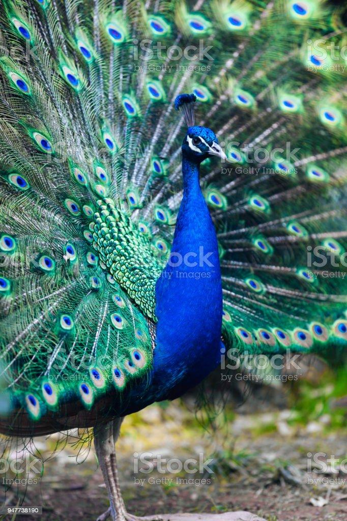 Blauer Pfau – Foto