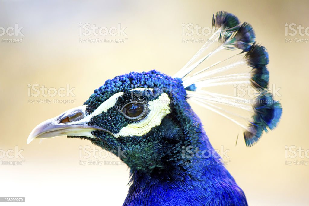 Blue peafowl with beautiful crest on the head stock photo
