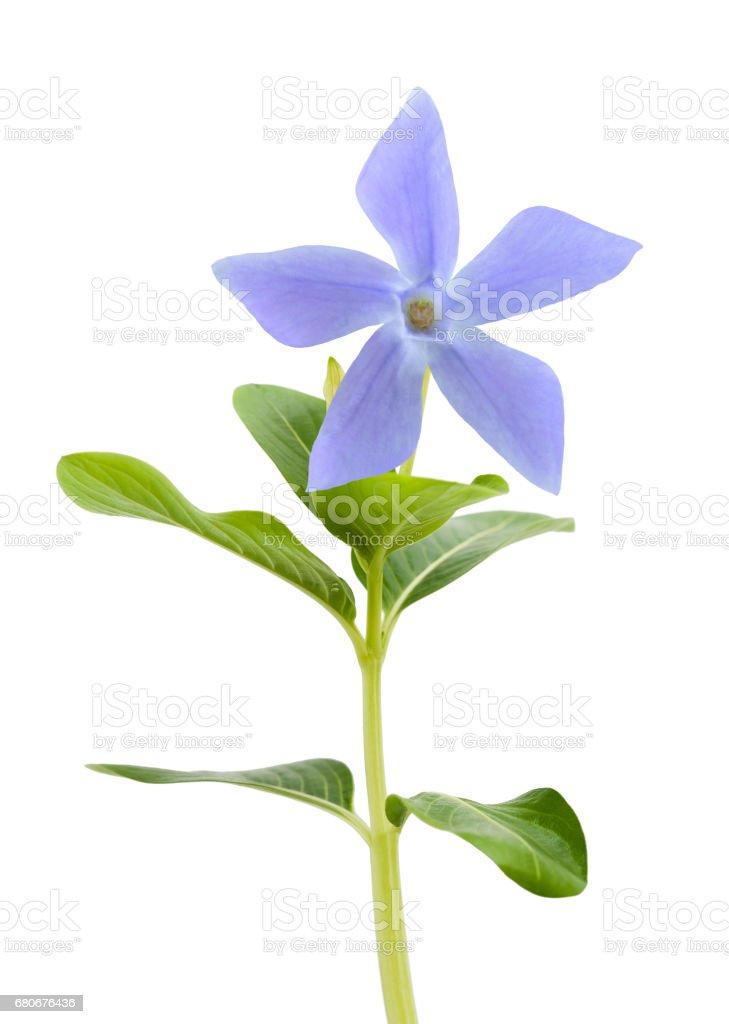 Blue periwinkle flower stock photo
