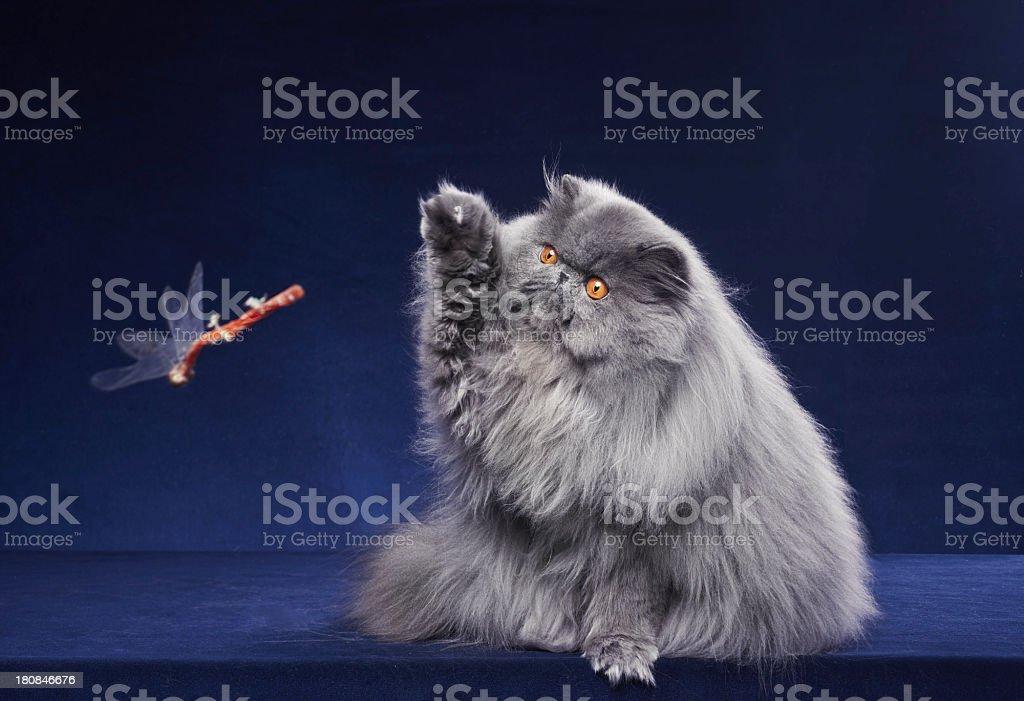 Blue Persian cat stock photo