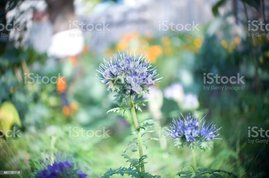 Blue phacelia bluebell (Phacelia tanacetifolia Benth) bloom in the garden stock photo