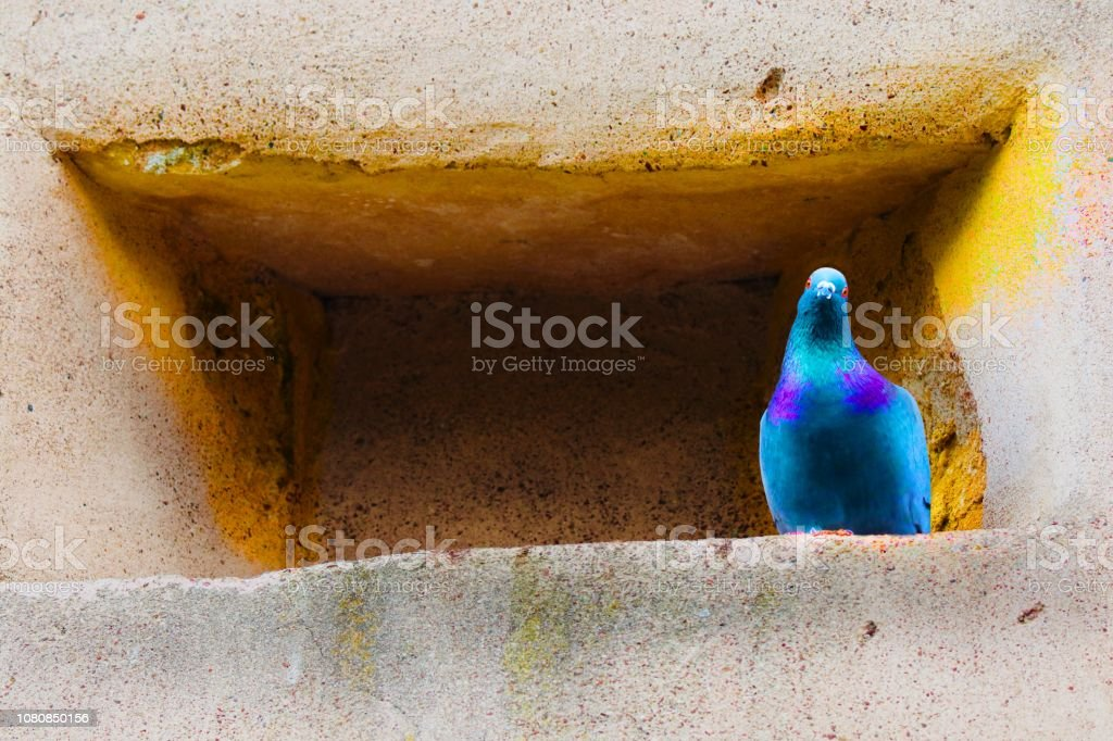 Blue pigeon stock photo